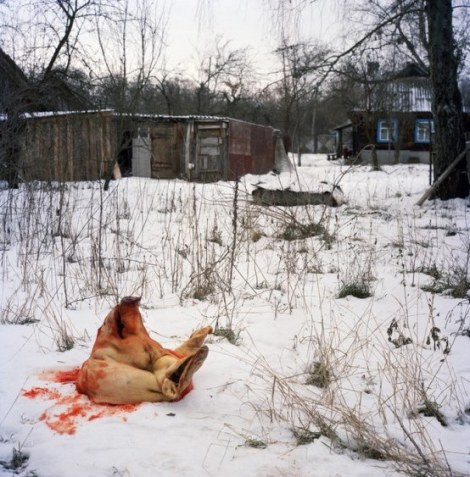 Pig butchered for the New Year holidays in Kapavati village. Chernobyl, Ukraine. December 2010.